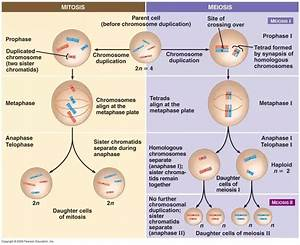 Which Phase Of Meiosis Is Different From Mitosis  How