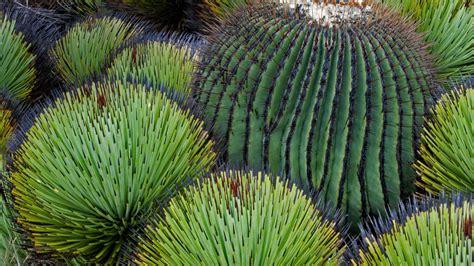 Barrel Cactus - Bing Wallpaper Download