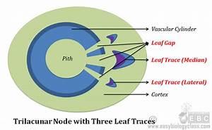 Nodal Anatomy Of Plants Short Notes  U0026 Diagrams