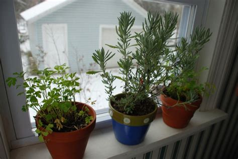grow herbs indoors winter