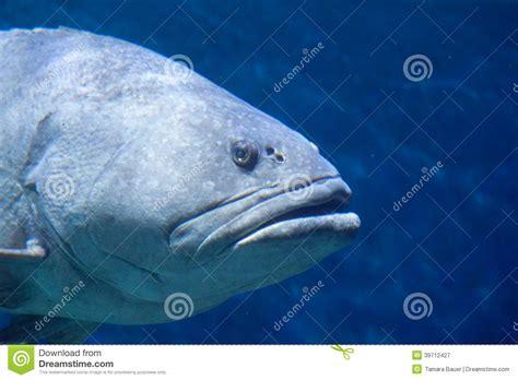 grouper fish groupers epinephelus genera subfamily serranidae any number order