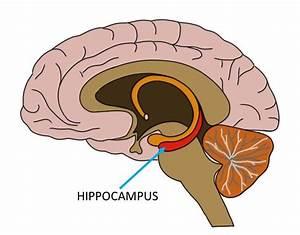 Know Your Brain  Hippocampus  U2014 Neuroscientifically Challenged