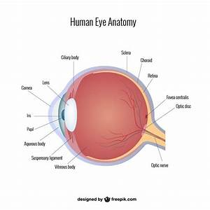 Eye Anatomy Vector Vector