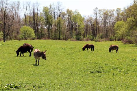 donkeys ponies