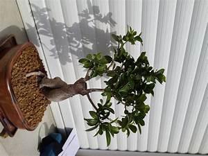 Comment Tailler Un Ficus : ficus ginseng mon bonsai ne va pas bien forums parlons ~ Melissatoandfro.com Idées de Décoration