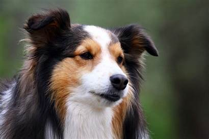 Dog Sheltie Breeds Breed Dogs Cutest Wallpapers
