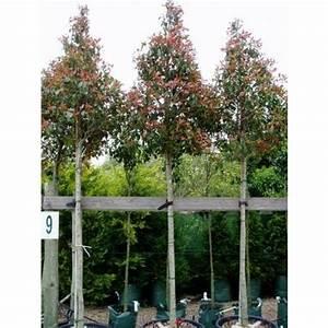 Red Robin Baum : die besten 25 red robin baum ideen auf pinterest photinia red robin red robin hedge und ~ Frokenaadalensverden.com Haus und Dekorationen
