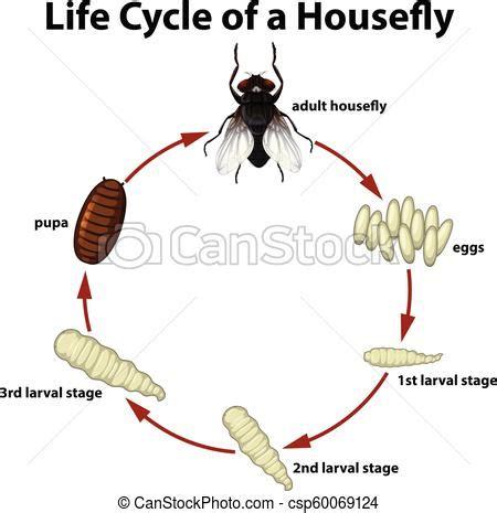 life circle   housefly illustration