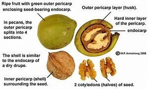 Nut Photos: English Walnut | Peanut and Tree Nut Free ...
