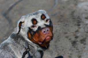 Une Vie De Chien by Rottweiler Albinos Une Vie De Chien Pinterest