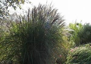 Bambus Zurückschneiden Frühjahr : winterharte hohe ziergr ser elefantengras miscanthus pampasgras bambus ~ Whattoseeinmadrid.com Haus und Dekorationen