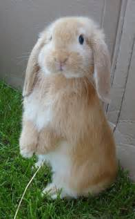 lop eared rabbit best 25 lop eared bunny ideas on pinterest baby bunnies fluffy bunny and bunny