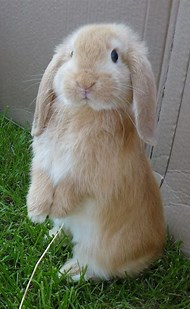 Image result for Flop Eared Rabbit