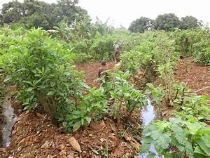 Wann Süßkartoffeln Ernten : schattenblick landwirtschaft 026 kamerun gem se mit abw ssern ged ngt bauern betreiben ~ Buech-reservation.com Haus und Dekorationen