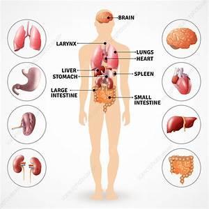 Human Organs  Illustration  0720