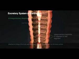4 Excretory System Of Earthworm 512 1
