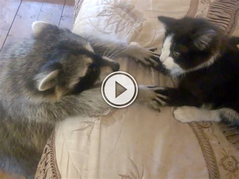 raccoon aggressively    friends  cat thechive
