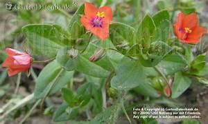 Winzige Rote Tierchen : roter gauchheil ackergauchheil bilder fotos anagallis ~ Lizthompson.info Haus und Dekorationen