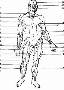 Blank Muscle Diagram Worksheet Free Muscular System