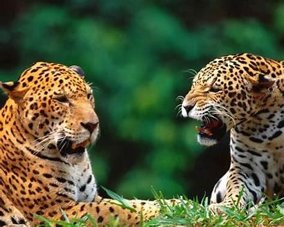 Amazing Animals Wallpapers Lovable Wild Desktop Lion