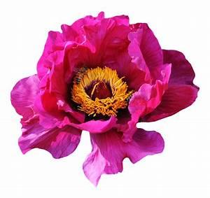 Pink Rose Flower PNG Image - PngPix