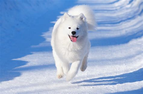 Samoyed Dog Breed Everything About Samoyeds