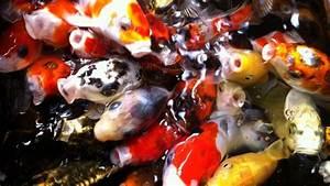 Goldfische Kaufen Berlin : handel mit koi karpfen lappenstuhler mit leidenschaft f r ~ Lizthompson.info Haus und Dekorationen