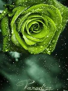 Animated Green Rose Samsung Mobile Wallpapers 240x320 Hd ...