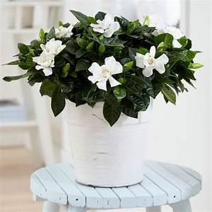 Gardenia Jasminoides Pflege : buy gardenia gardenia jasminoides delivery by waitrose ~ A.2002-acura-tl-radio.info Haus und Dekorationen