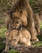 East African lion - Wikipedia