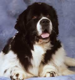 faq frequently asked questions about newfoundland dogs