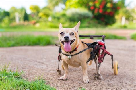 dog disabled dogs wheelchairs hearing dogsbestlife vision