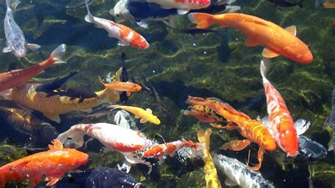 Animated Koi Fish Wallpaper - animated koi wallpaper wallpapersafari