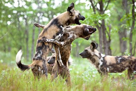 african wild dog legacy hotels