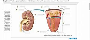 Kidney Structure And Function The Excretory System