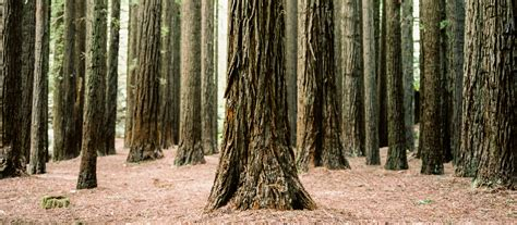 planthunter big trees  aire valley redwoods