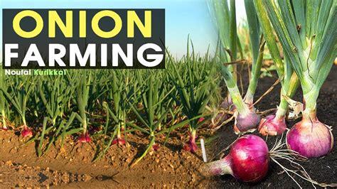 onion farming methods farming  home youtube