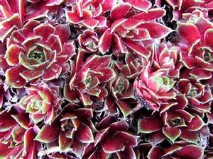 Pflanzen Im Mai : garten anders hauswurz deko f r sommer und winter im mai und juni pflanzen ~ Buech-reservation.com Haus und Dekorationen