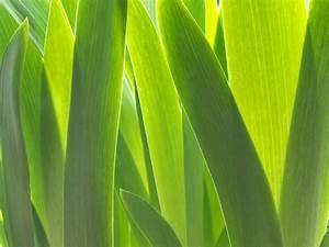 Meerrettich Blüht Was Tun : iris bl ht nicht woran kann 39 s liegen ~ Lizthompson.info Haus und Dekorationen
