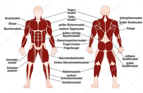How skeletal muscles are named? Muscles German Names Chart Muscular Male Body — Stock ...