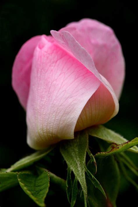 dog rose rosa canina