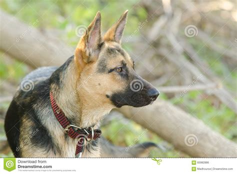 portrait dans le profil d une cour m 233 tisse de chien et d
