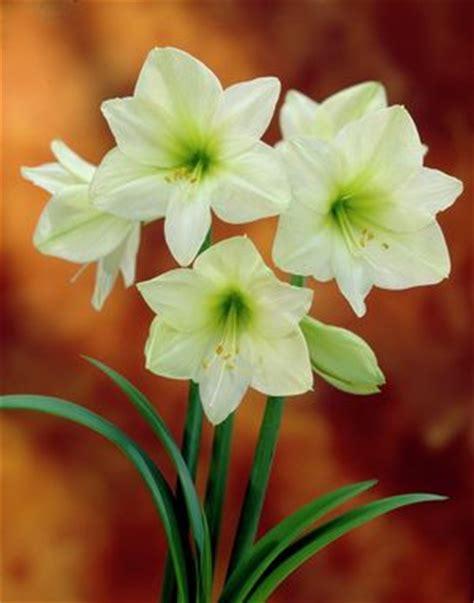 buy amaryllis bulbs bulk digoxine 0 25 vidal