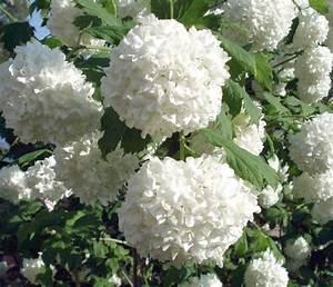 Weiß Blühende Sträucher : foto european cranberry schneeball schneeball european ~ Michelbontemps.com Haus und Dekorationen