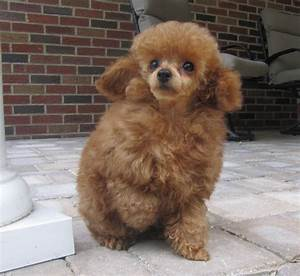 Red Tiny Toy Poodle Puppies For Sale, Black Teacup Poodles ...