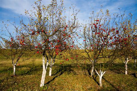 pruning apple trees in autumn winter or late season apple varieties harvest to table
