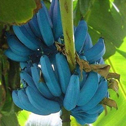 blue java bananas taste  ice cream   plant blue