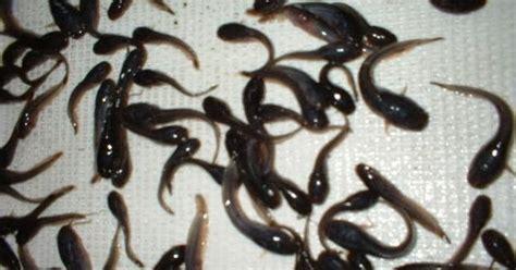 Jual Bibit Ikan Bawal Di Bandar Lung karisma koi fish pusat jual benih bibit ikan dan ikan