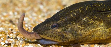 cuisiner une anguille un homme a été tué à cause d une anguille insérée par ses
