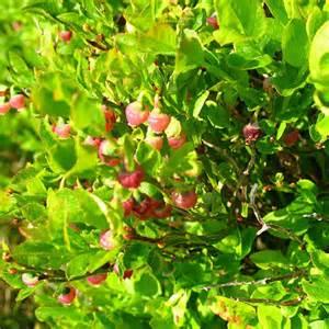 Bilberry flowers. a carpet of bilberry plants around Llyn ...